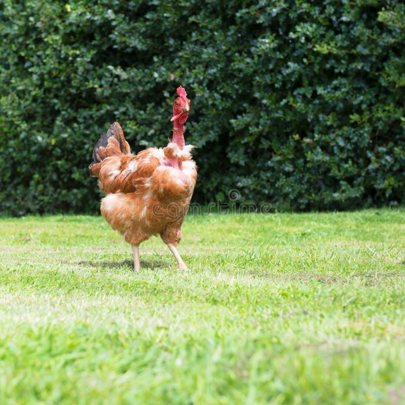 naga kurczak szyja zdjęcie royalty free