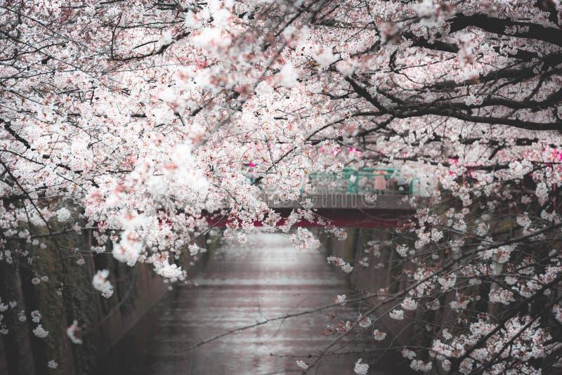 Naga Meguro area, Tokyo. This area is popular sakura spot in Tokyo with beautiful canal.  stock image