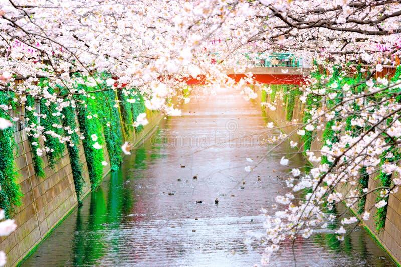 Naga Meguro area, Tokyo. This area is popular sakura spot in Tokyo with beautiful canal.  stock photo