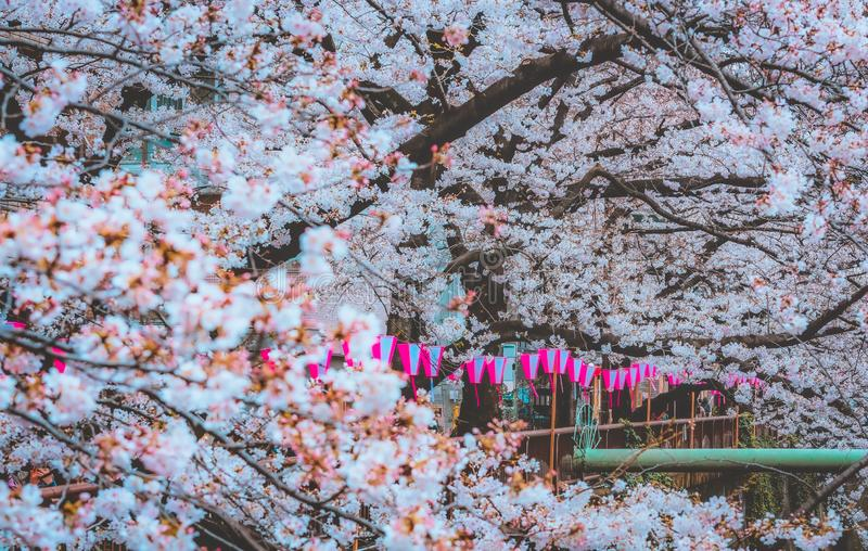 Naga Meguro area, Tokyo. This area is popular sakura spot in Tokyo with beautiful canal.  royalty free stock images