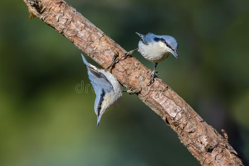 nagaensis Castagna-scaricato del Sitta o della sitta, bello uccello per immagini stock