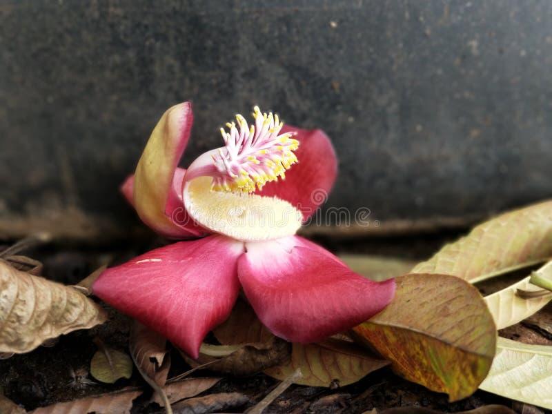 Nagapushpam花, Andra Pradesh,印度 免版税库存照片