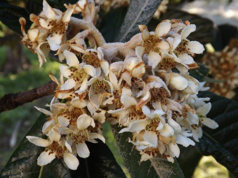 The Nagasakiwase Loquat Nespa tree flowers stock image