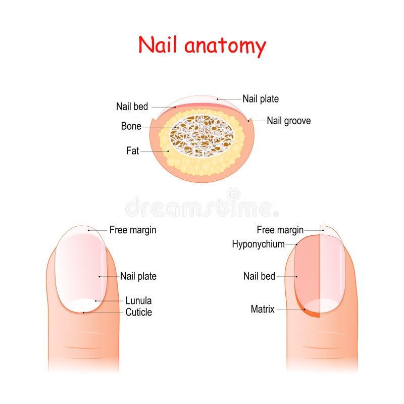 Nagelstructuur en anatomie vector illustratie