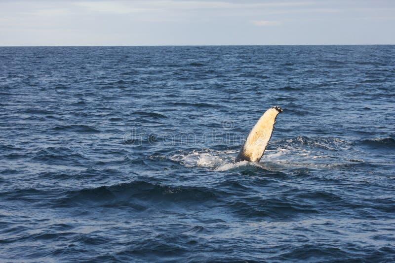 Nageoire de baleine de bosse images libres de droits