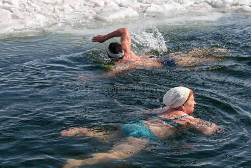 Nageurs d'hiver - morse Surgut, heureux de nager dans l'eau glaciale photos libres de droits