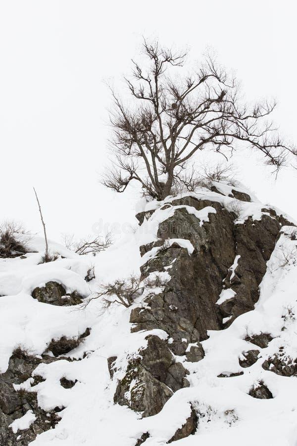 Nagi drzewo na śnieg Zakrywającym szczycie górskim zdjęcie stock