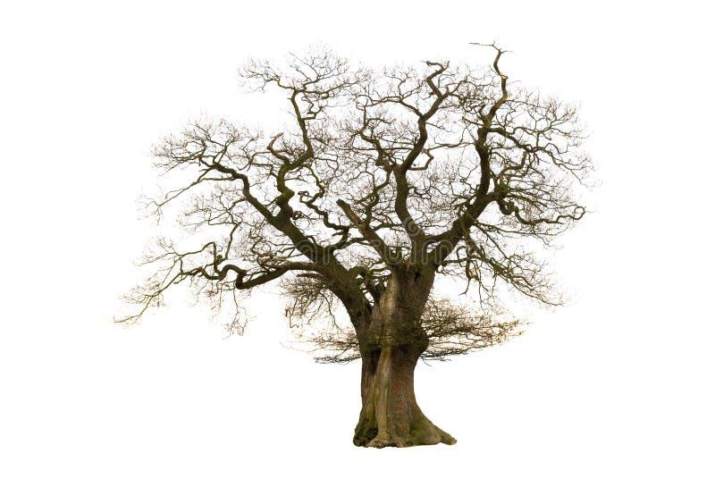 nagi stary drzewo fotografia stock