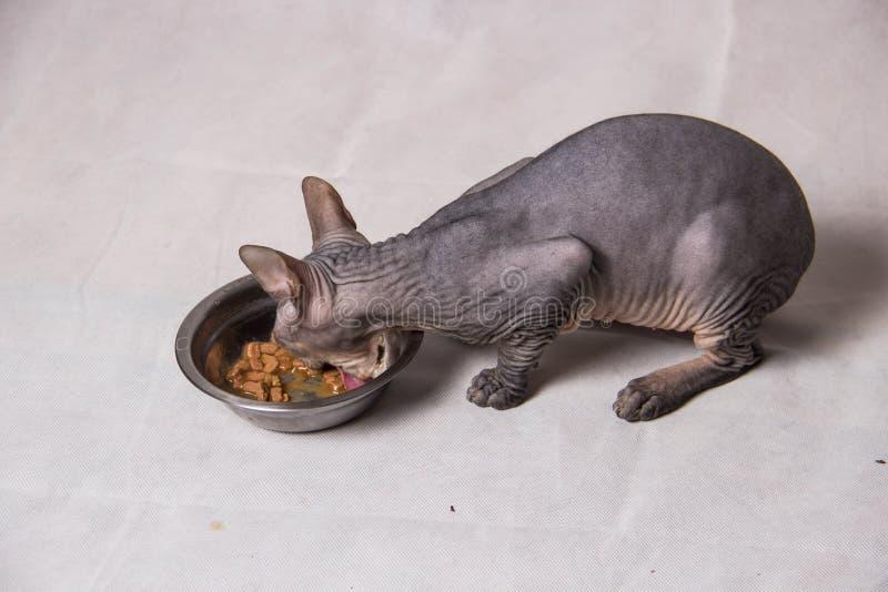 Nagi szary sfinksa kot je jedzenie od żelaznego pucharu na białym tle obraz royalty free