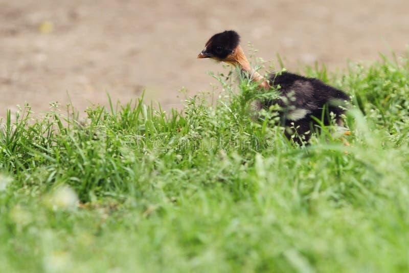 Nagi szyja kurczak w trawie zdjęcia royalty free