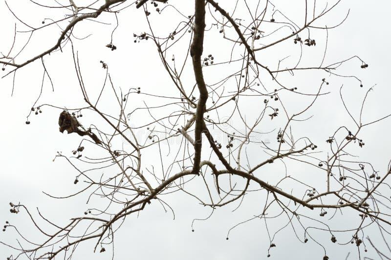 Nagie popkorn gałąź przeciw białemu niebu fotografia stock