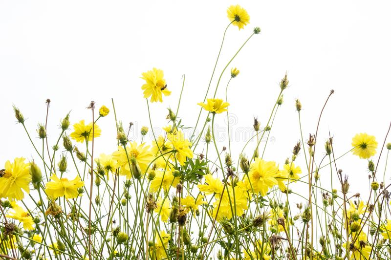 Nagietek kwitnie Żółtego kosmos w łące na białym tle fotografia stock