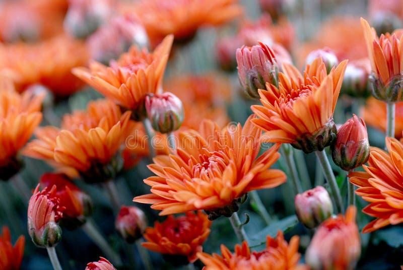 Nagietek kwitnie w łące, pomarańcze kwiaty obraz stock