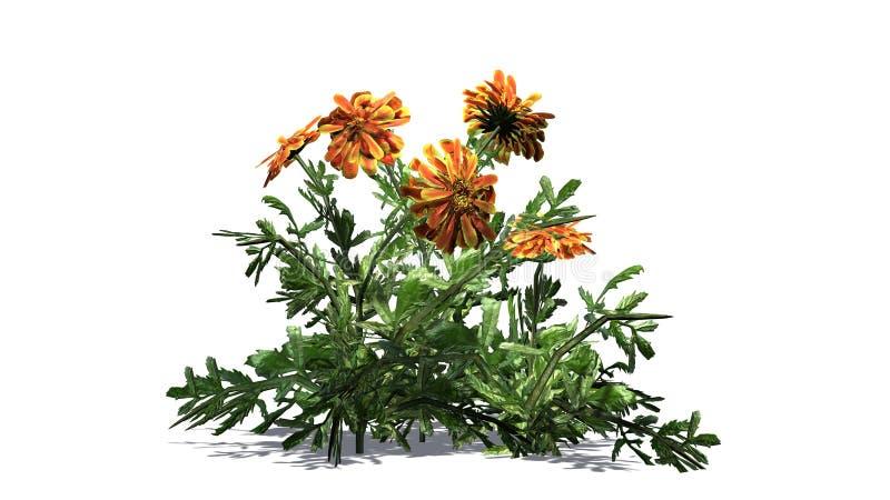 Nagietek - ornamentacyjna roślina z kolorem żółtym brudno- czerwoni okwitnięcia ilustracja wektor