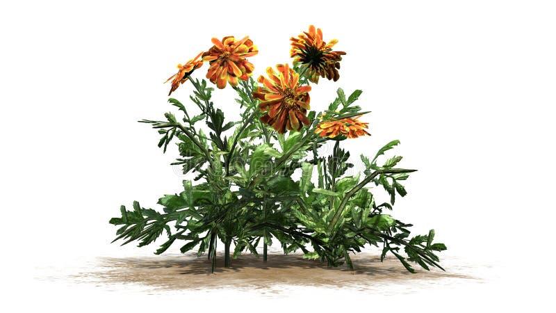Nagietek - ornamentacyjna roślina z kolorem żółtym brudno- czerwoni okwitnięcia ilustracji
