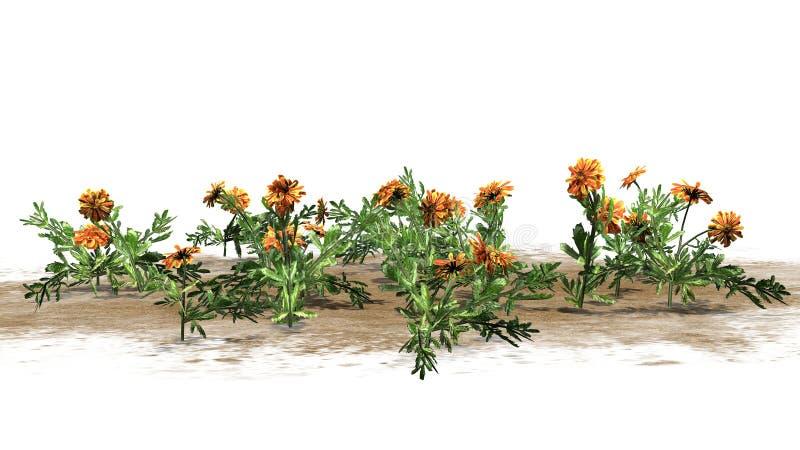 Nagietek - ornamentacyjne rośliny z kolorem żółtym brudno- czerwoni okwitnięcia ilustracja wektor