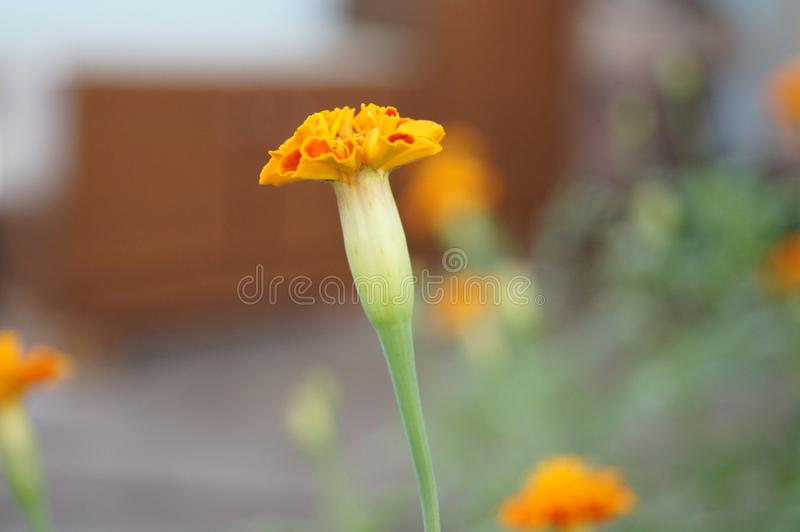 Nagietek, Tagetes erecta, zieleń, ogród, rośliny obraz royalty free