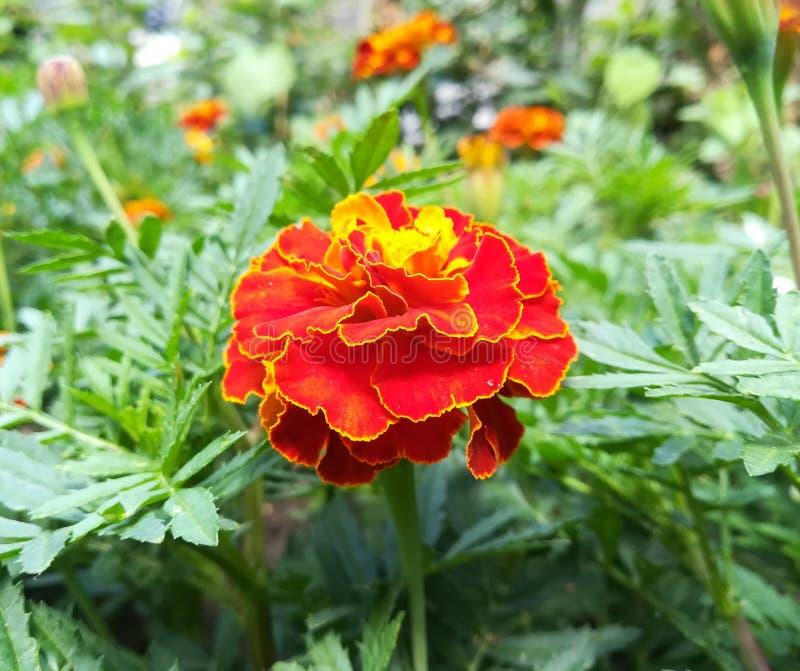 nagietków kwiaty kwitną w lato ogródzie na słonecznym dniu blisko kwiat ? zdjęcia royalty free