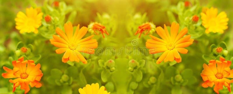 Nagietków kwiaty zamknięci up na łące bloom ogród Lato kwiecisty panoramiczny wzór fotografia royalty free