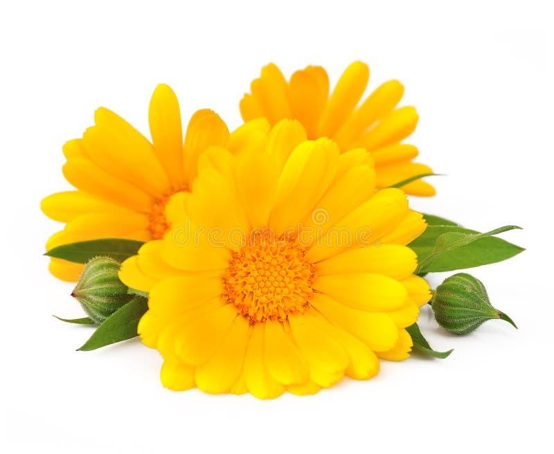 Nagietka kwiat zdjęcia royalty free