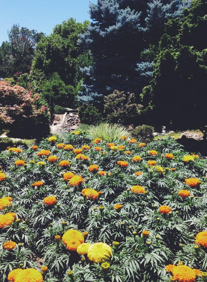 nagietka kwiatu ogród obraz stock