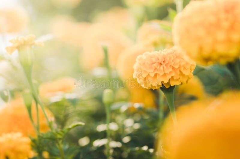 Nagietki lub Tagetes erecta kwiatu rocznik obraz royalty free