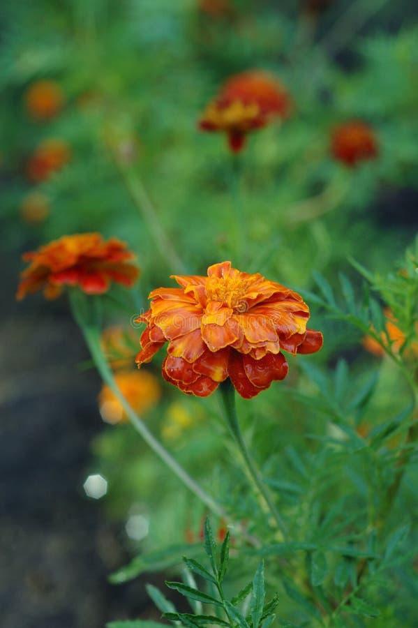 Nagietki wśród innych rośliien w ogródzie fotografia royalty free