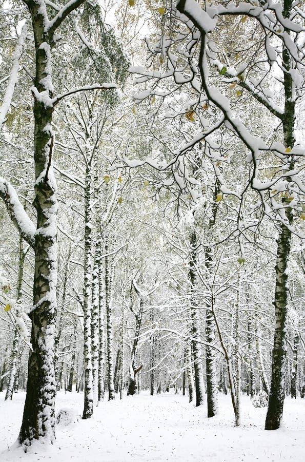 Nagle spadać śnieg w jesieni brzozy lesie obraz stock