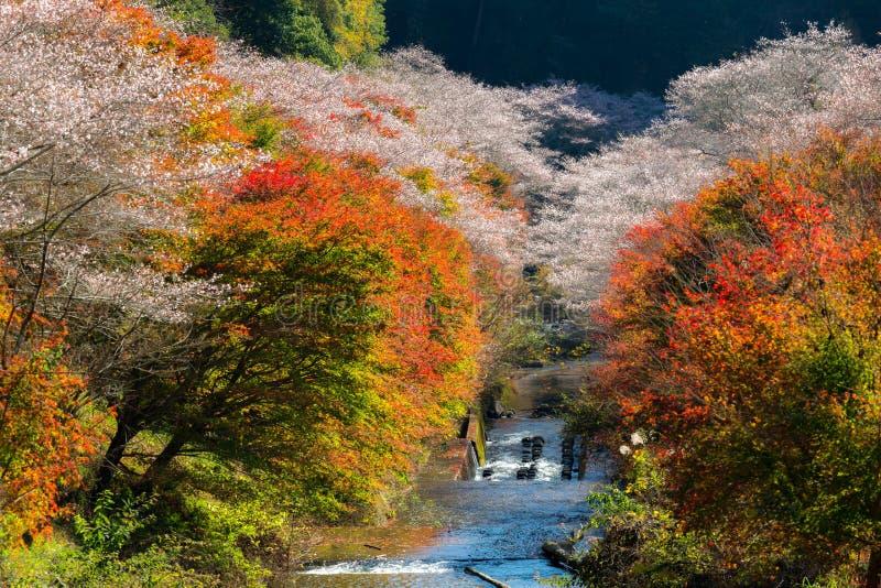 Nagoya, Obara Kirschblüte im Herbst stockbilder