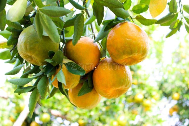 Orange Nagpur. Nagpur Orange is So Fame in India royalty free stock image