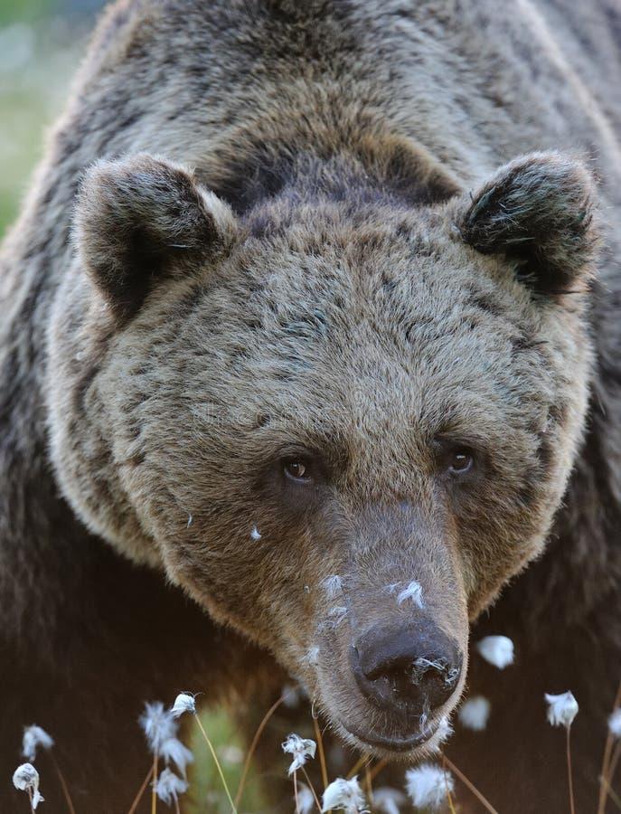 Nah an braunem Bären lizenzfreies stockbild