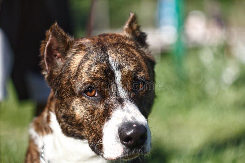 Nah herauf einen Hund mit den geernteten Ohren stockbild