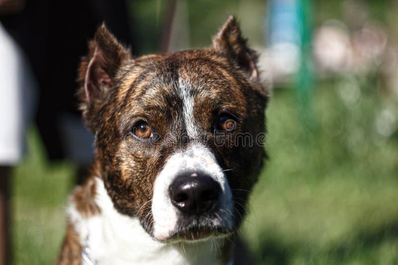 Nah herauf einen Hund mit den geernteten Ohren lizenzfreie stockfotos