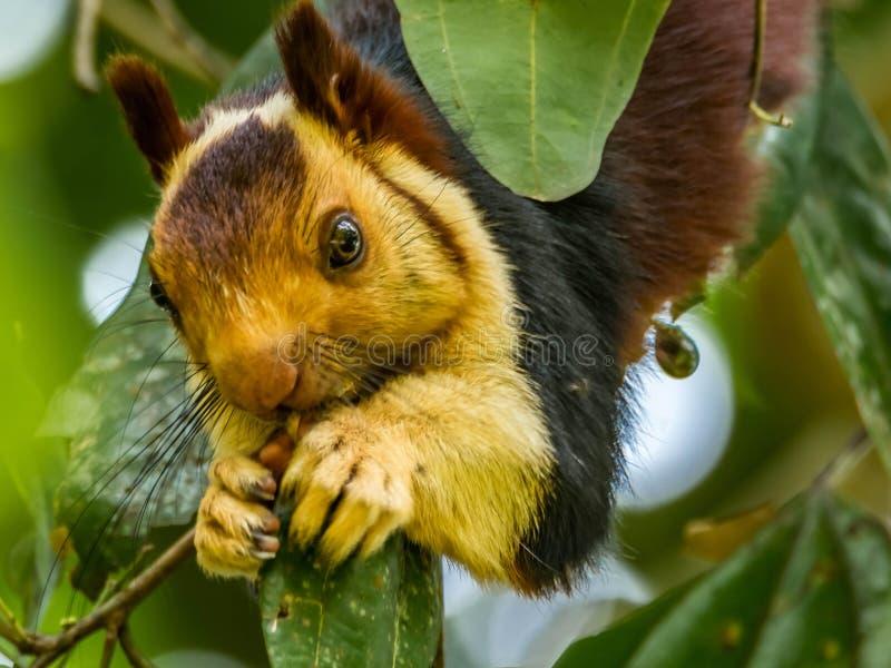 Nah oben: Ratufa Indica oder Malabar-Eichhörnchenkauen stockfotos