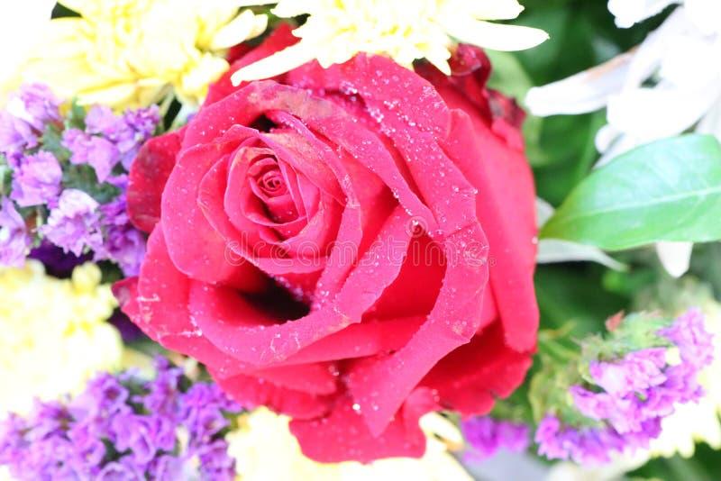 Nah oben, rote Rosen mit sch?nen Wassertropfen, nat?rlicher Hintergrund stockfotografie