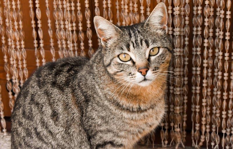 nah oben vom Porträt einer neugierigen Hauskatze, die auf einer Wolldecke nah an der Tür seines Hauses sitzt Die Katze schaut mit lizenzfreie stockbilder