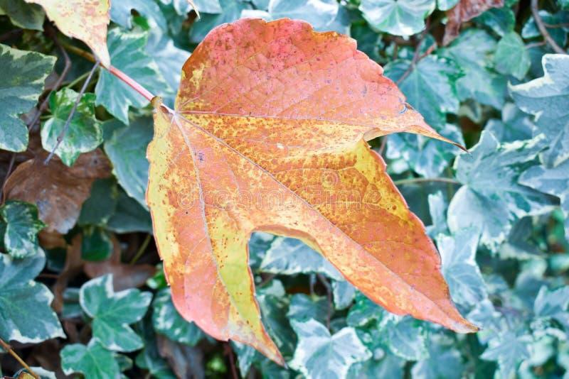nah oben von einem orange Blatt des trockenen Ahorns vor grünen Blättern eines Efeus in einer Szene eines Falltages Das Blatt ist stockfotos