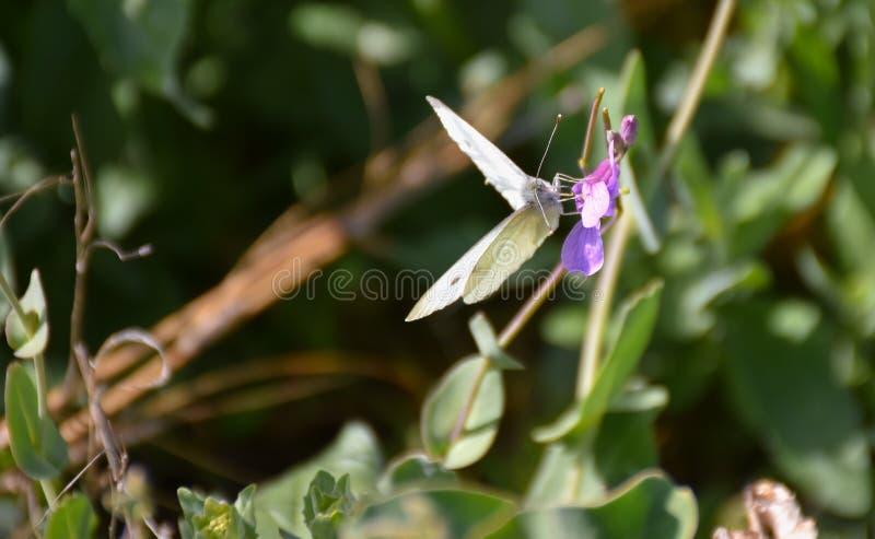 nah oben von einem weißen Schmetterling mit schwarzen Punkten und geöffneten Flügeln warf friedlich auf einer purpurroten Blume a stockfotos
