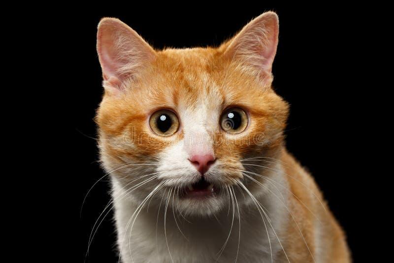 Nahaufnahme überraschte Ginger Cat mit geöffnetem Mund auf Schwarzem stockbild