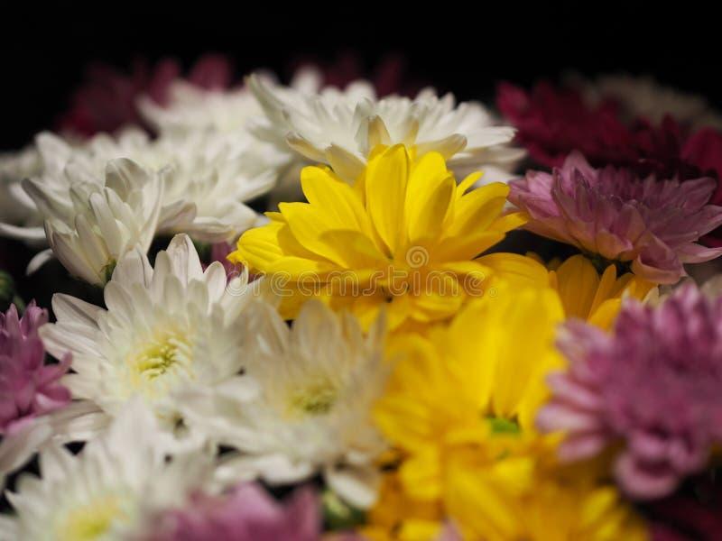 Nahaufnahme-afrikanisches Gänseblümchen, Transvaal-Gänseblümchen, Gerbera veridijolia Rosa-purpurrote gelbe weiße Blume auf schwa lizenzfreies stockbild