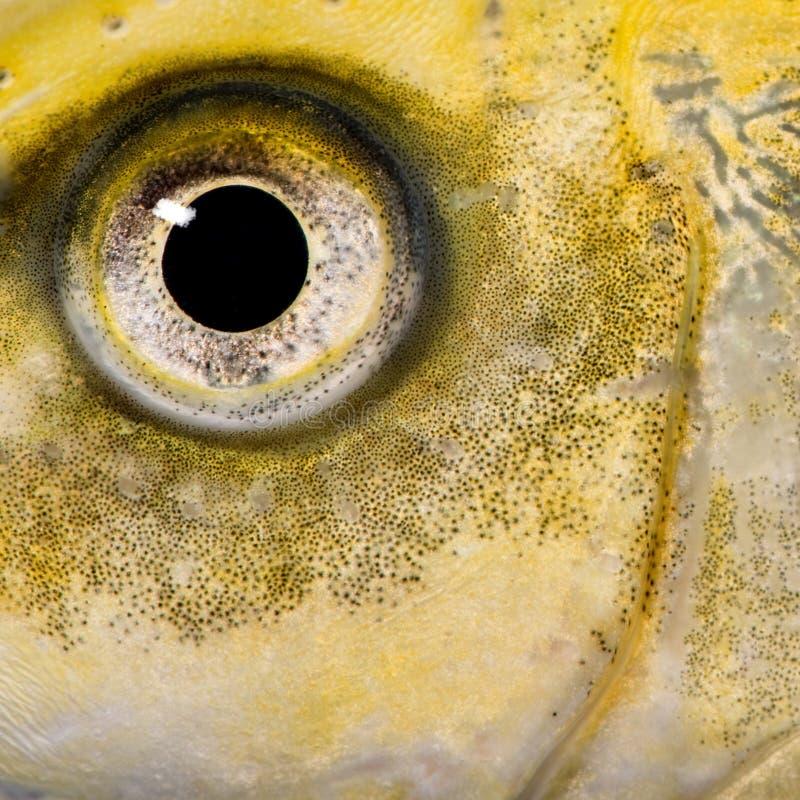 Nahaufnahme auf dem Auge eines gelben Fisches stockbild