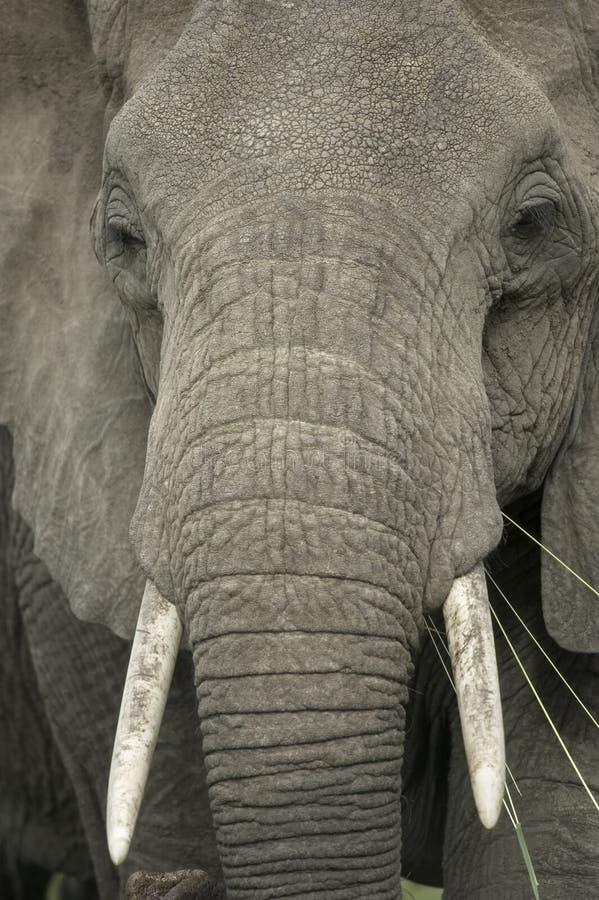 Nahaufnahme auf dem Kopf eines Elefanten stockfotografie