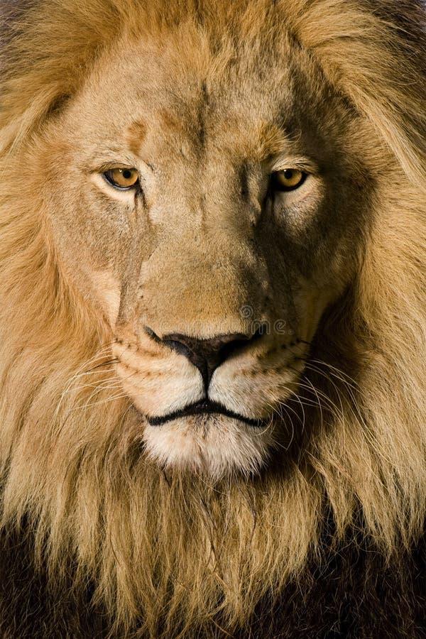 Nahaufnahme auf dem Kopf eines Löwes (4 und eine Hälfte Jahr) - P stockfotos