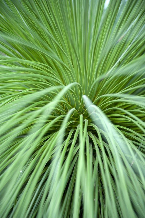 Nahaufnahme auf den Blättern von Queretaro-Yucca-Yucca queretaroensis, bikonvex, Denticulateblatt, Pflanzenart in der Klasse Yucc lizenzfreies stockfoto