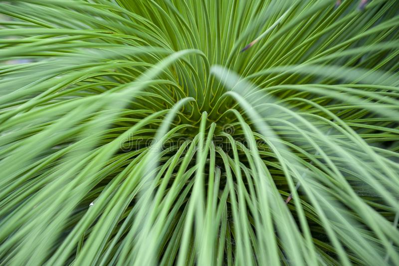 Nahaufnahme auf den Blättern von Queretaro-Yucca-Yucca queretaroensis, bikonvex, Denticulateblatt, Pflanzenart in der Klasse Yucc stockfoto