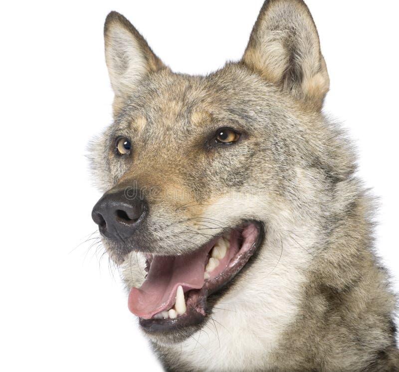 Nahaufnahme auf einem alten europäischen Wolf    stockbild