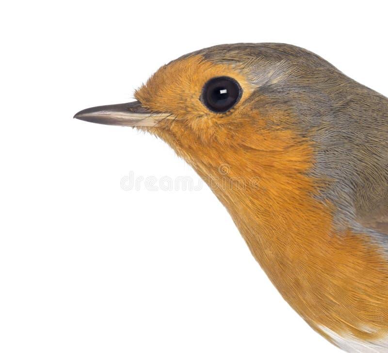 Nahaufnahme auf einem europäischen Robin - Erithacus rubecula stockfotos