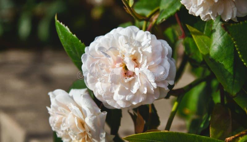 Nahaufnahme auf einer Blume in einem wilden weißen Rosenbusch lizenzfreie stockfotografie