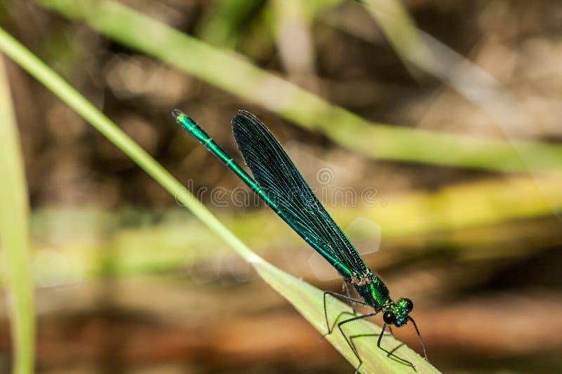 Nahaufnahme auf einer Libelle auf einem unscharfen warmen Hintergrund stockbilder