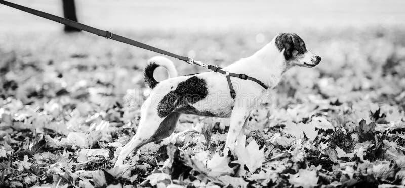 Nahaufnahme auf Hund auf Leine draußen im Herbst stockfoto